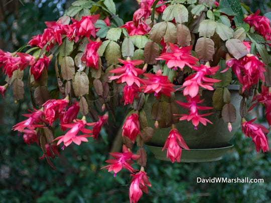 Christmas cactus makes a lovely gift.
