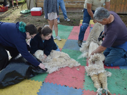 Watch a professional shearer from New Zealand give 45 alpacas their springtime haircut on Saturday, May 26.