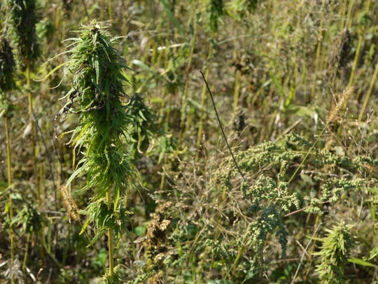 Hemp is ready to be harvested on Mike Omernik and Deb Tanis' farm in Wittenberg.