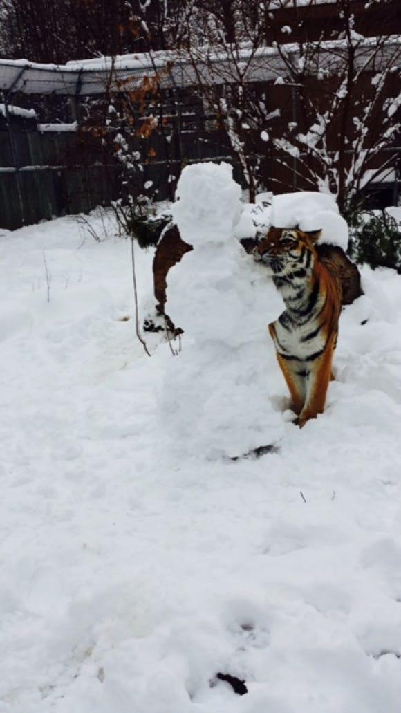 Tiger at the Seneca Park Zoo.