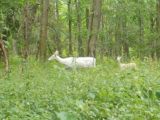 White deer and fawn captured on a trail camera in the