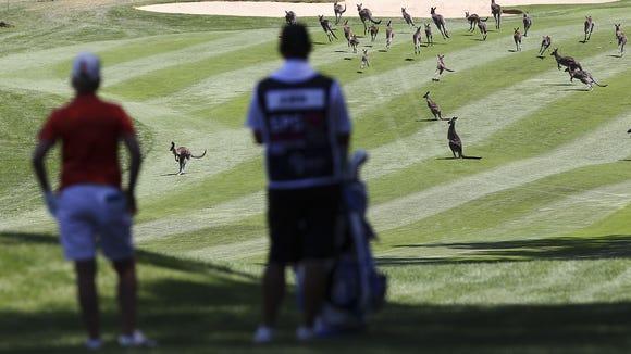2013-2-14 kangaroos