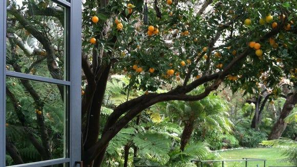 Bel Air orange tree
