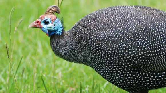 Beheaded bird