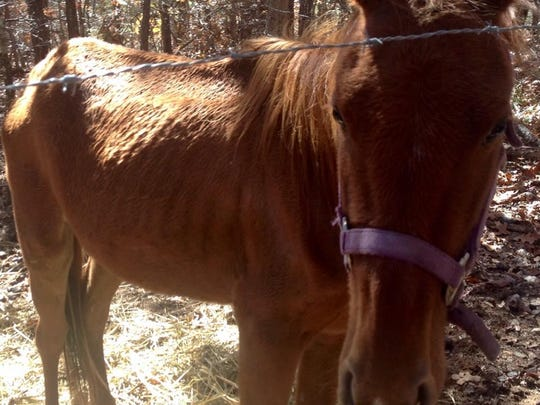 Chloe, a 2-year-old Sorrel mare, has been with Hope for Horses in rural Marion County since November 2014. The newly established rescue saved Chloe with the help of the Marion County Sheriff's Office. She was found starving inside a small, barbed-wire pen with sporadic food supply.