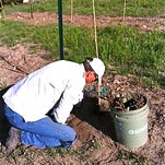 Ken Schneider, planting a grape vine, one of 702 in hopes of some good wine a few years from now.