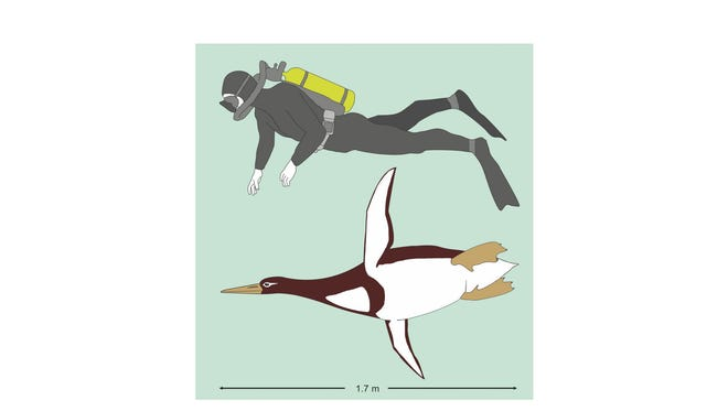 Artistic reconstruction of Kumimanu biceae in size comparison to a human diver.