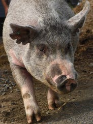 Fred, one of the pigs raised by the Streibs at Kesicke