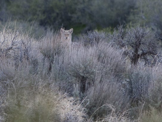 A coyote pokes its head up over the brush after crossing