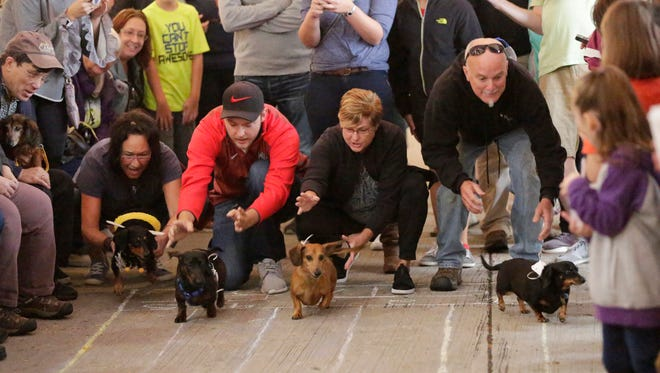 Daschund owners release their dogs during the wiener dog races during Oktoberfest Saturday October 7, 2017 at Al & Al's in Sheboygan, Wis.