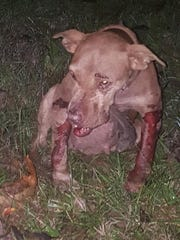 More than 30 abused dogs were discovered at an apparent dogfighting ring in Adams County Monday.