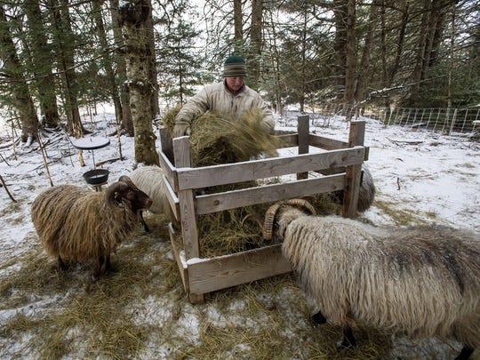 Vanessa Riva feeds her Icelandic rams at Stark Hollow