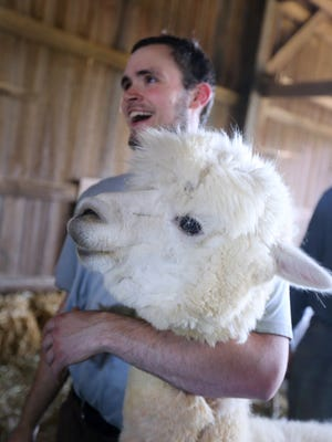 Alex Adams holds onto Hope before she is sheared at Eagle Bend Alpacas.