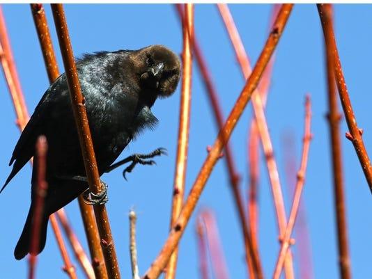 brown headed cowbird.jpg