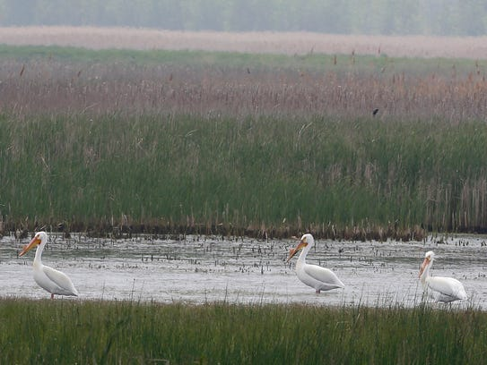 American White Pelicans stand in the water at Pointe