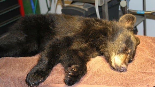 A black bear cub found refuge at the Southwest Wildlife Conservation Center after a concerned Payson resident found the bear injured on the side of the road.