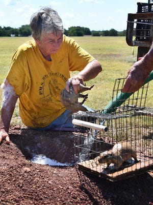 Lynda Watson of P.M.S. Prairie Dog Rescue and Relocation retrieves another prairie dog from its burrow in Kiwanis Park. About 200 of the animals are being removed and relocated this week.
