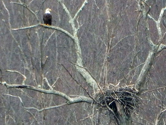 A bald eagle perched on a branch overlooking a nest