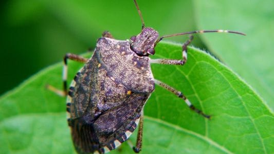 Brown marmorated stink bugs, an invasive species, were first found in North Carolina in 2009 and have spread to 70 of 100 counties.