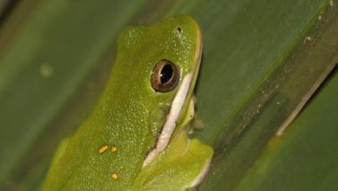 The Green Treefrog is one of five species of true treefrogs found in Texas.