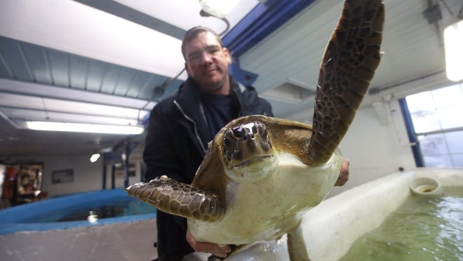 Cypress Rudloe of the Gulf Specimen Marine Lab holds a rescued sea turtle in January. The Marine Lab will have it's Sharks & Chablis fundraiser on Saturday.
