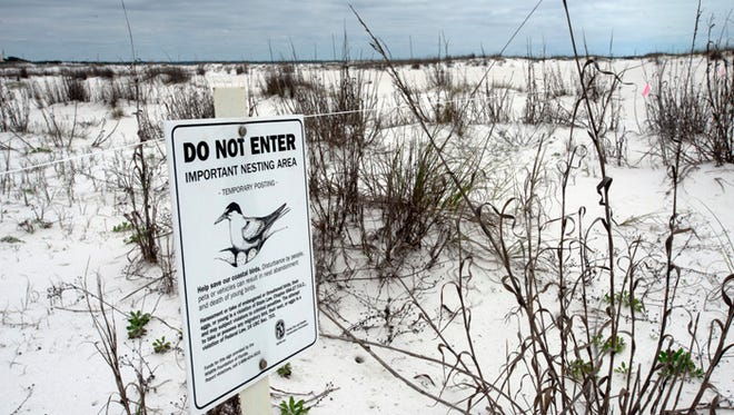Audubon Florida prepares for shorebird nesting season in Navarre Beach. After a dismal nesting season last year, Audubon Florida and the folks at the National Seashore folks are stepping up efforts to get the public engaged in helping to protect threatened and endangered birds. This year, in addition to the routine signage they post on nesting sights, the public outreach and nest monitoring, the Audubon folks acquired some electronic reader boards they will post both at the National Seashore and Navarre Causeway in an effort to alert motorists they're approaching a nesting area. The project is funded by a 5-year BP grant issued to the National Fish and Wildlife Foundation through the Gulf Environmental Benefit Fund, and is its second year. So far, one snowy plover has been spotted in the Navarre area and more should arrive soon along with least terns and black skimmers that will show up in 2 weeks.
