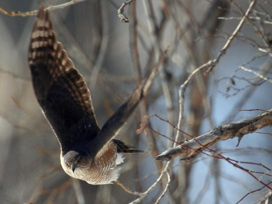 A sharp-shinned hawk leaps from a perch in brush along