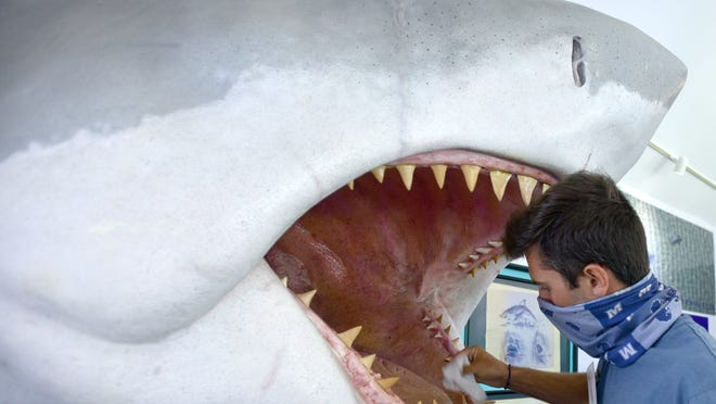 """Will Merrill disinfects the teeth of Bruce the Shark, modeled after the shark from the original """"Jaws"""" movie, inside the Atlantic White Shark Conservancy's Shark Center in Chatham. The facility is now open for tours by reservation only and is disinfected between each group."""