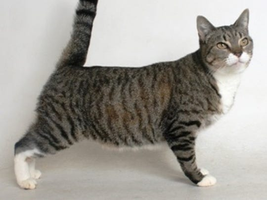Lapis is a 2-year-old, grey and black, female, tabby