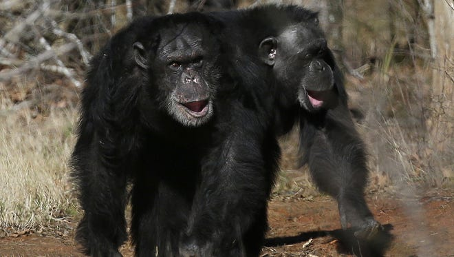 This Feb. 19, 2013, photo shows two chimps walking together at Chimp Haven in Keithville, La.