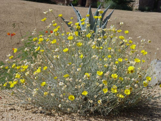 Desert marigold: The grey foliage and lemon yellow flowers of desert marigold are outstanding color for scattering around dry stream beds.