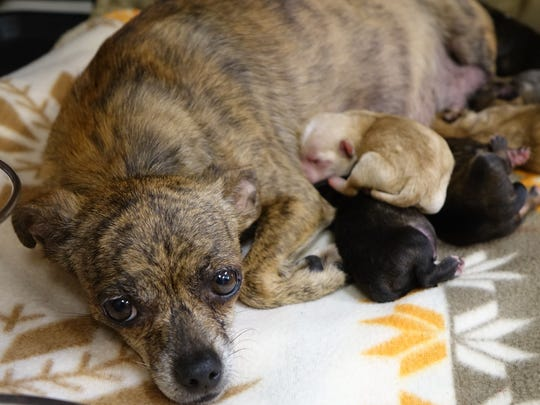 A mama dog with newborn puppies born the morning of