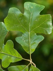 Post oak  leaves are bright green, and scratchy on