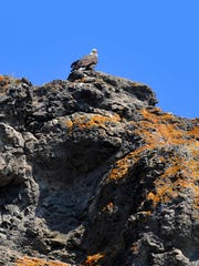 A bald eagle perches on a cliff overlooking the Missouri