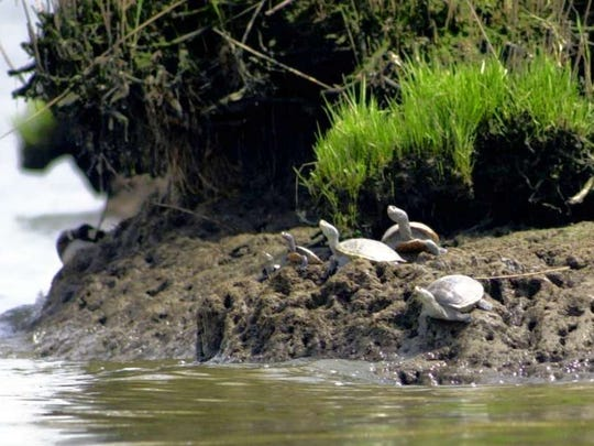 A clan of diamondback terrapins along the Hackensack River. Harvesting of the terrapins is allowed in New Jersey, but conservationists are fighting for laws that would protect them due to declining numbers.