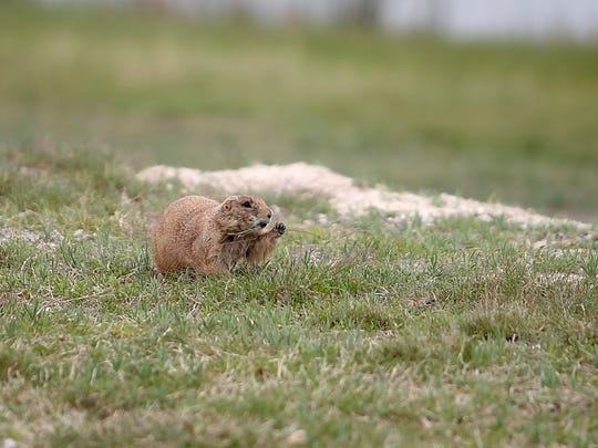 A number of prairie dogs live and roam around in the grass just behind the center at the San Angelo Nature Center's Spring Break Camp Wednesday, March 15, 2017.