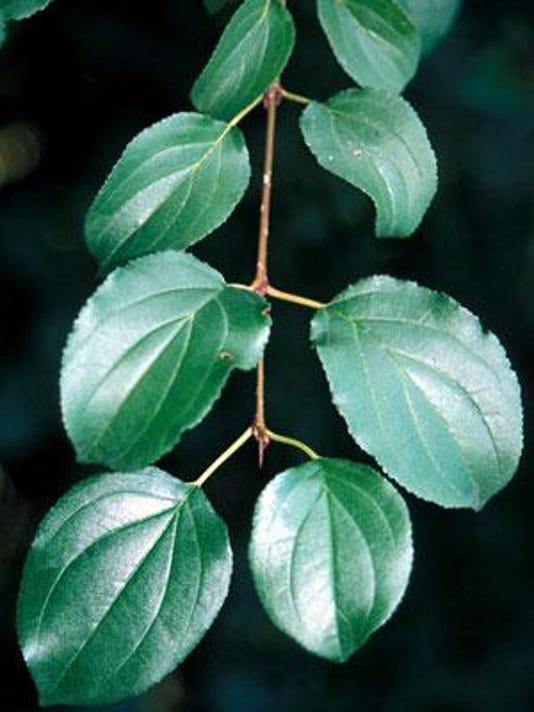 Buckthorn, invasive.jpg