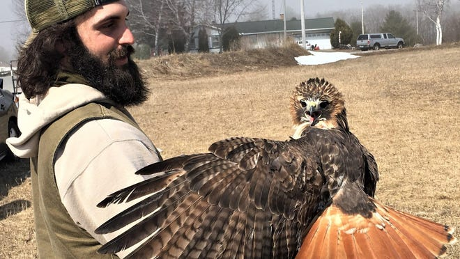 Red tailed Hawks are also a common species of raptor found in Northern Michigan, one of which is being held by Nick Alioto in this photo. Photo by Ed Pike