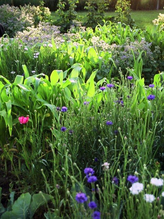 Corn and bachelor buttons are a companion planting method to enhance pollin