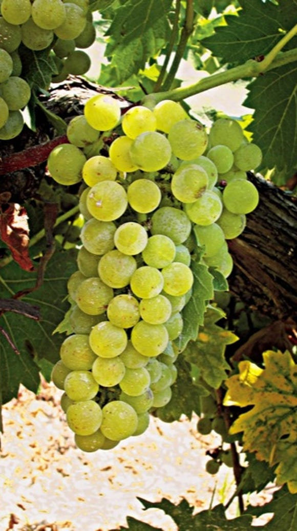 The Muscat of Alexandria was bred as a cross between