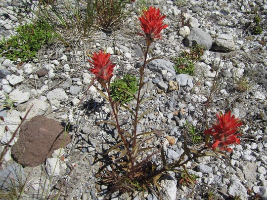 Indian paintbrush flourishes on the edges of the pumice plain north of Mount St. Helens.