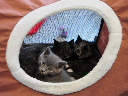 The Maclean Animal Adoption Center recently received a litter of month-old kittens. They will be available for adoption after a quarantine period.