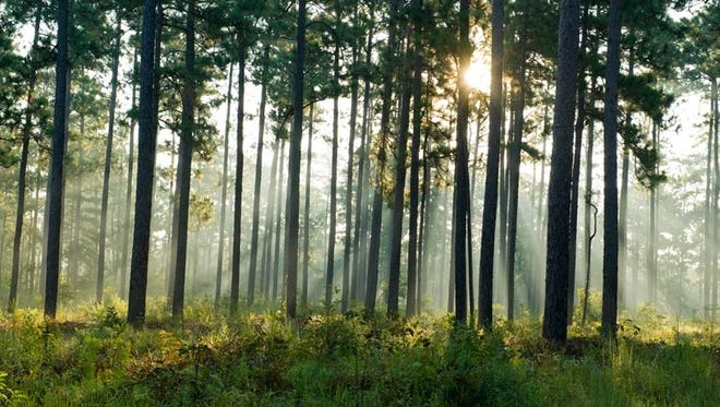 Longpine has one of the most valuable stands of longleaf pine habitat in the U.S.