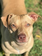 Sarah is a beautiful, adult, spayed female feist with