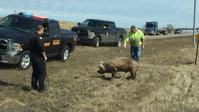 A pig was rescued near on Interstate 90 near Sioux Falls after it fell off a truck.
