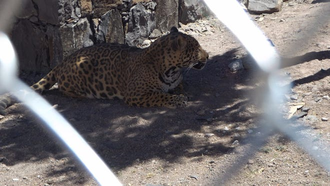 A jaguar was seized by authorities at a ranch outside Carichi, Chihuahua.
