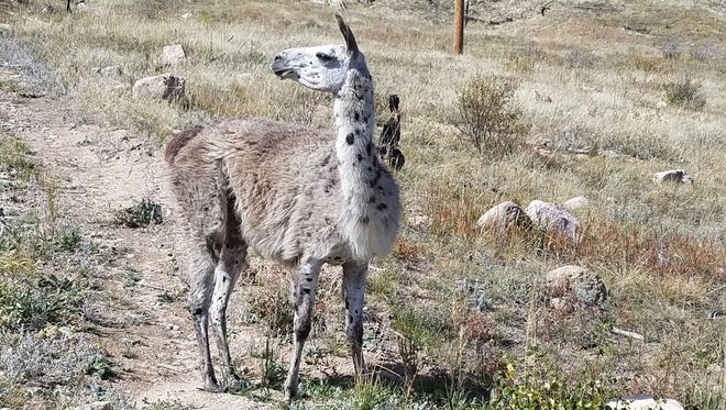 A llama has been roaming Bobcat Ridge, and city staff are hoping to find its owners.