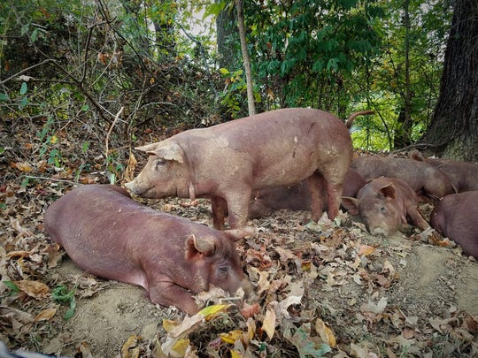 The Briners raise Red Wattle hogs, a heritage breed which are excellent foragers and well-suited to being raised on pasture.