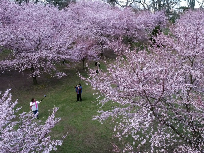 The Cherry blossoms in Branch Brook Park, Newark, NJ.