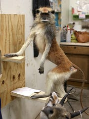 A Patas monkey is being worked on inside Safari Studios taxidermy workshop Monday, April 30, 2018.